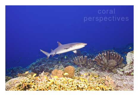 Reef Shark over Hard Coral