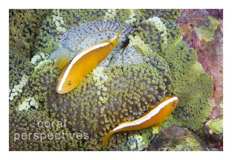 Two Skunk Anemonefish