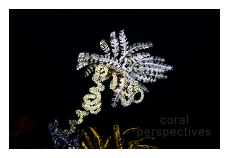 Crinoid on Spiral Coral
