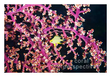 Yellow Damsel in Red Soft Coral