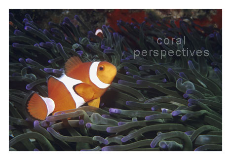 Clownfish in Purple-tipped Anemone