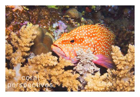 Coral Grouper Nestled In