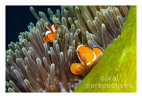 Green Anemone and Clownfish