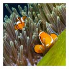 Green Anemone and Clownfish (square)