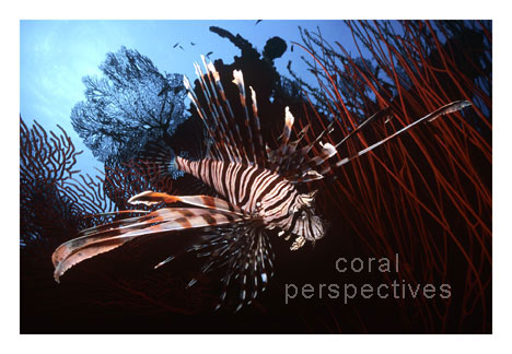 Lionfish and Red Whip Corals