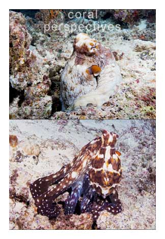 Octopus Double Image