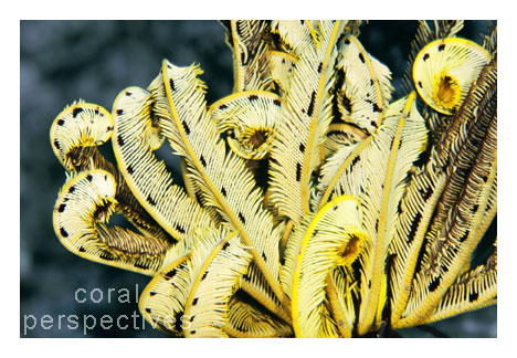 Yellow Crinoid