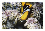 Anemone Fish in Zebra Anemone