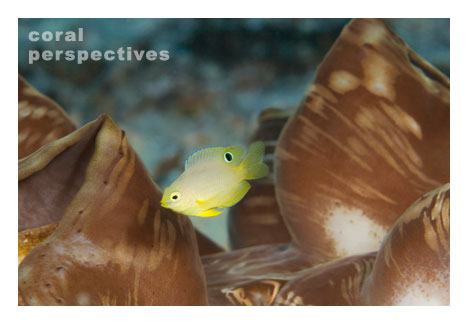 Yellow Fish in a Clam