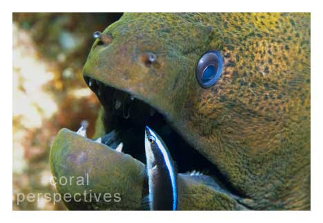 Green Moray and Wrasse