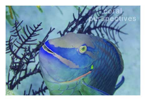 Parrotfish Smiling