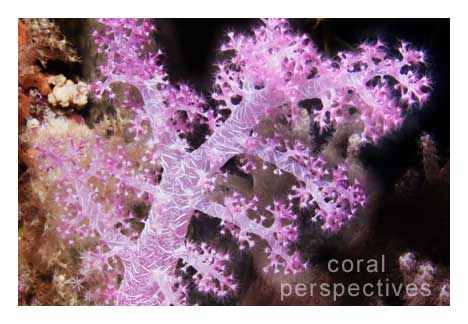 Branch of Pink Soft Coral Close
