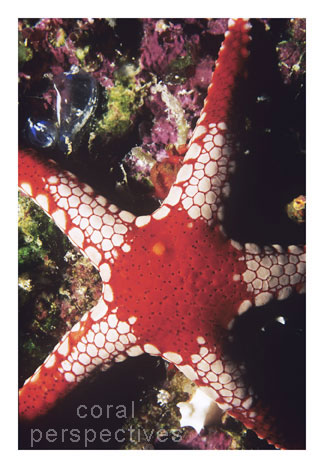 Peppermint Starfish