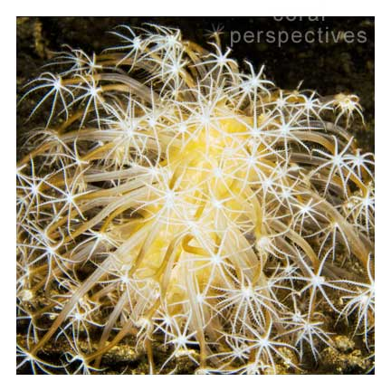 Fireworks Soft Coral (square)