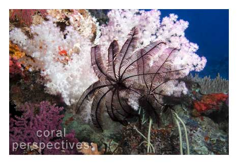 Light Pink Soft Coral with Crinoids