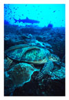 Turtle with Remoras and Shark