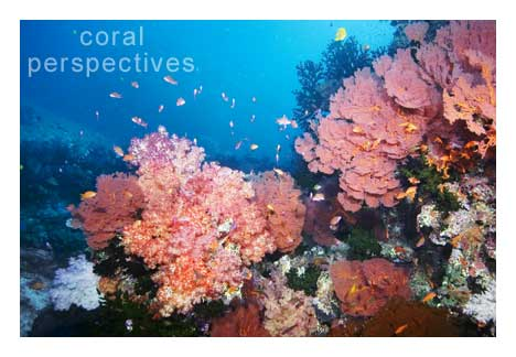 Pink Fan and Soft Coral Scene