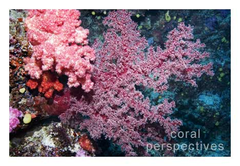 Pink and Red Soft Corals