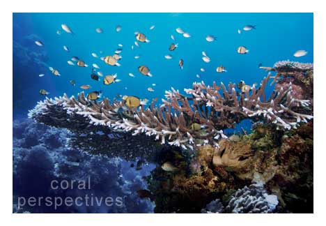 Staghorn Coral Shelf