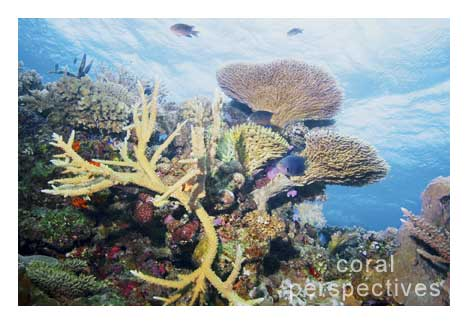 Staghorn Coral Scene