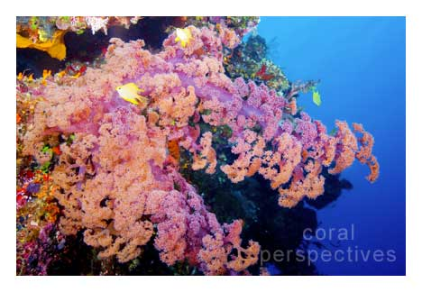 Large Pink Soft Coral and Damsels