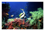 Bannerfish in Red and Green Soft Coral