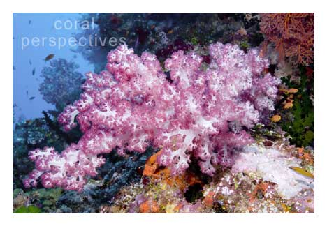 Pink Soft Coral Scene