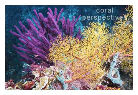 Magenta and Yellow Soft Corals