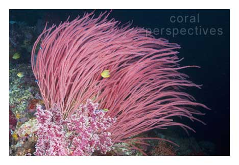 Pink Whip Coral and Damselfish