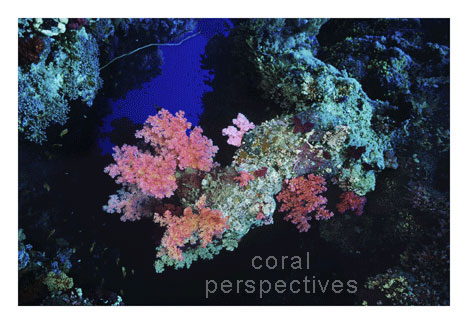 Pink Soft Coral at a Crevice
